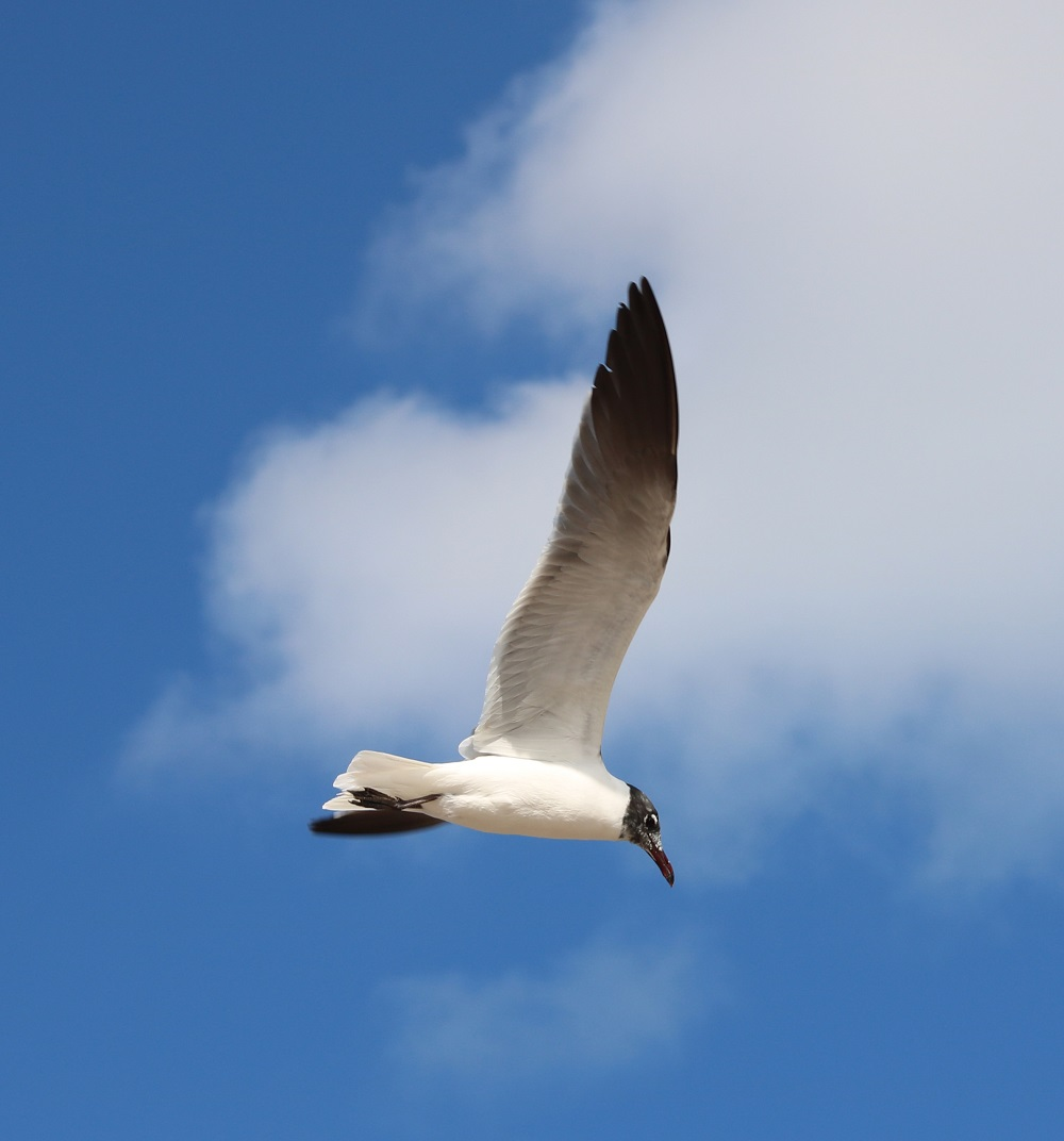 Close up of seagull with fully extended wing