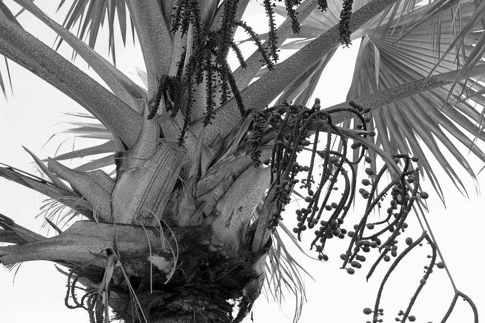 Close up of tropical tree in black and white