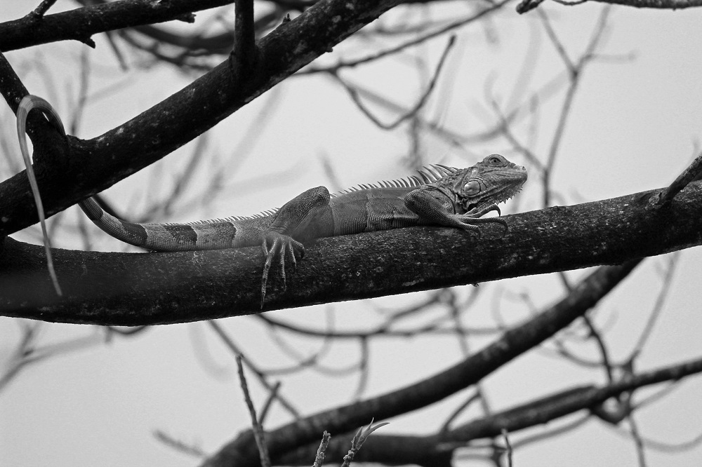 Determined iguana in black and white